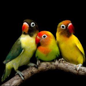 Könsbestämning för fågel