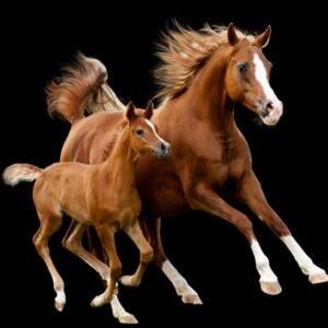 Faderskapstest för häst