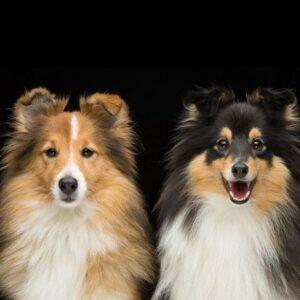 Nedärvda egenskapstester för hund